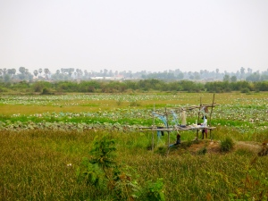Lotus flower fields on the edge of the Tonle Sap